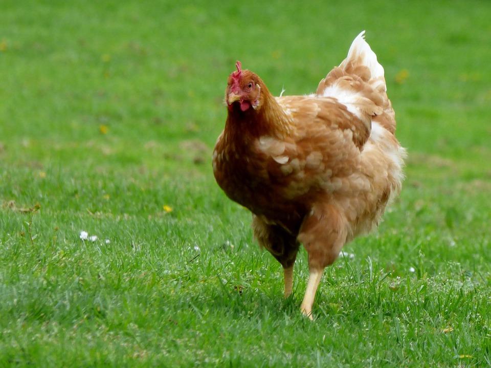 Melhores tipos de frango para a saúde
